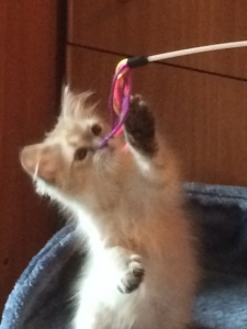 TiggersRus Patriarca Mork (kitten)